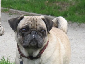 Dogpatch dog pug face